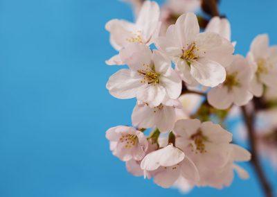 syojin-sakura